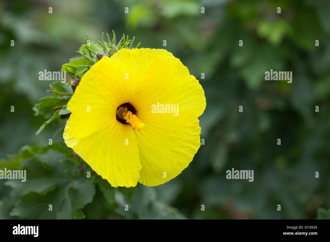 Native hawaiian yellow hibiscus brackenridgei mao hau hele flower native hawaiian yellow hibiscus brackenridgei mao hau hele flower izmirmasajfo