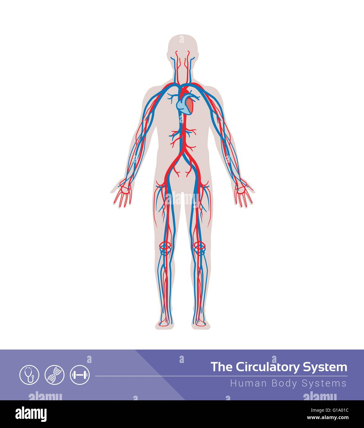 The circulatory or cardiovascular human body system medical illustration - Stock Image