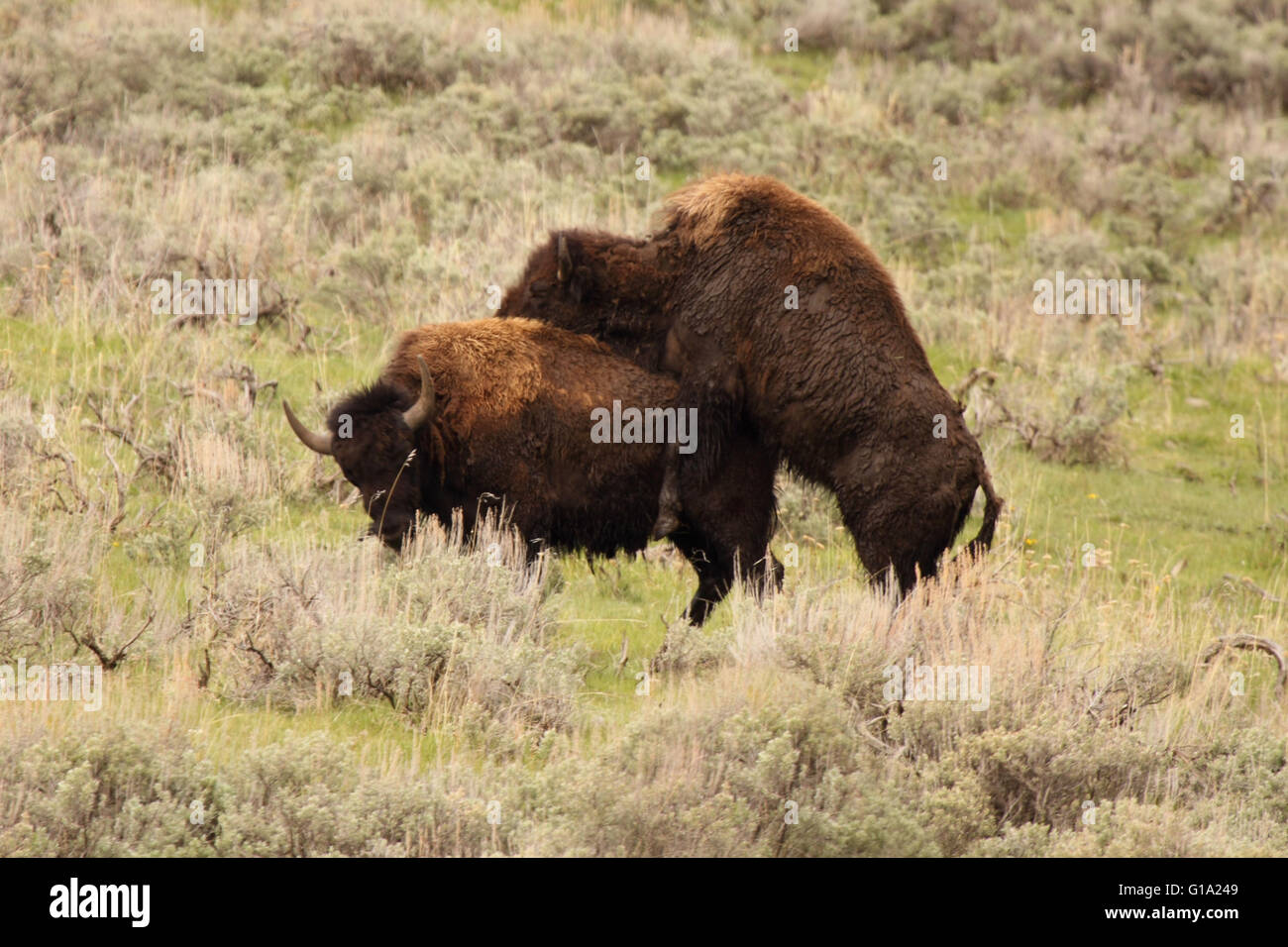 The dominance display of American Bison. - Stock Image