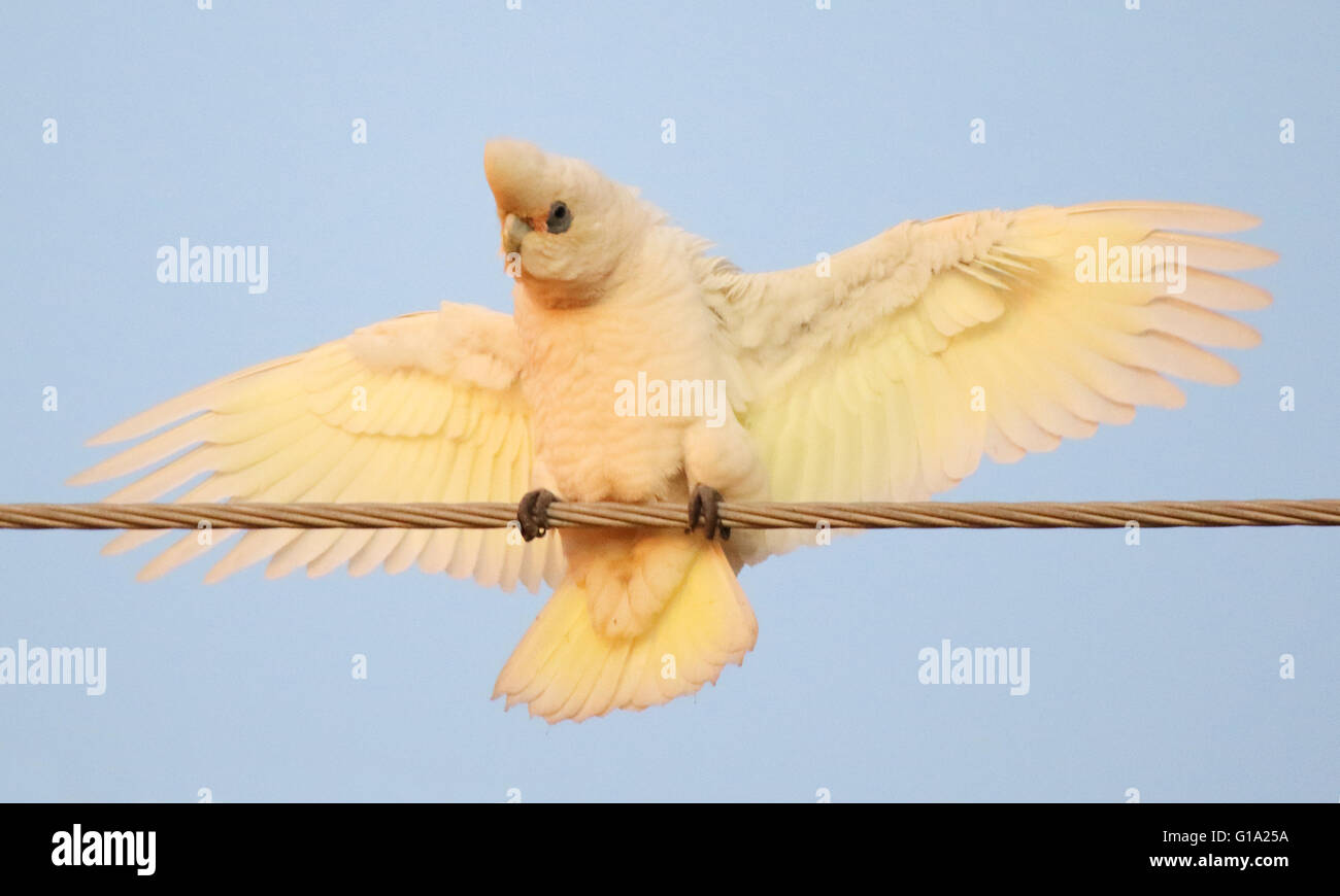 A Little Corella using its wings for balance. Stock Photo