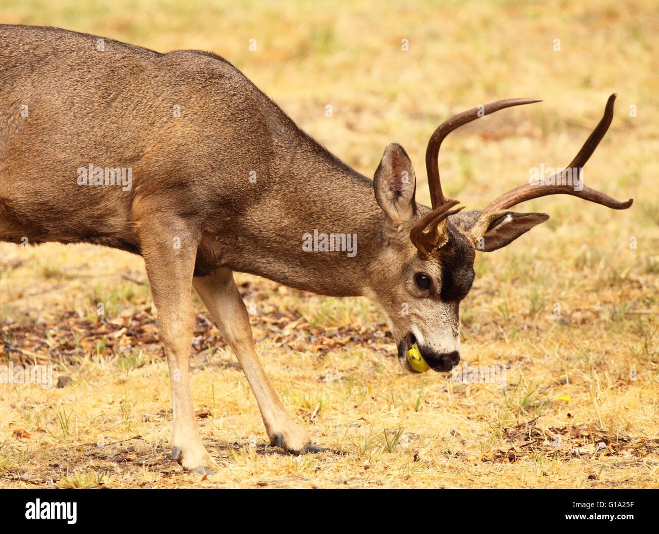A large Black-tailed Deer buck eating an apple. - Stock Image