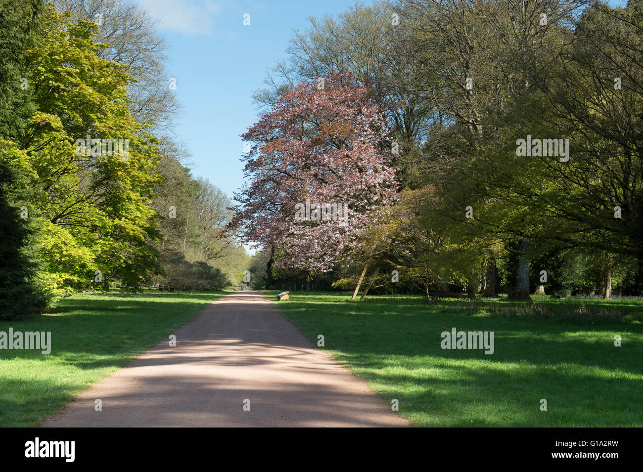 Prunus Sargentii. Sargents cherry tree in blossom on the edge of a ride at Westonbirt Arboretum. Gloucestershire, England Stock Photo