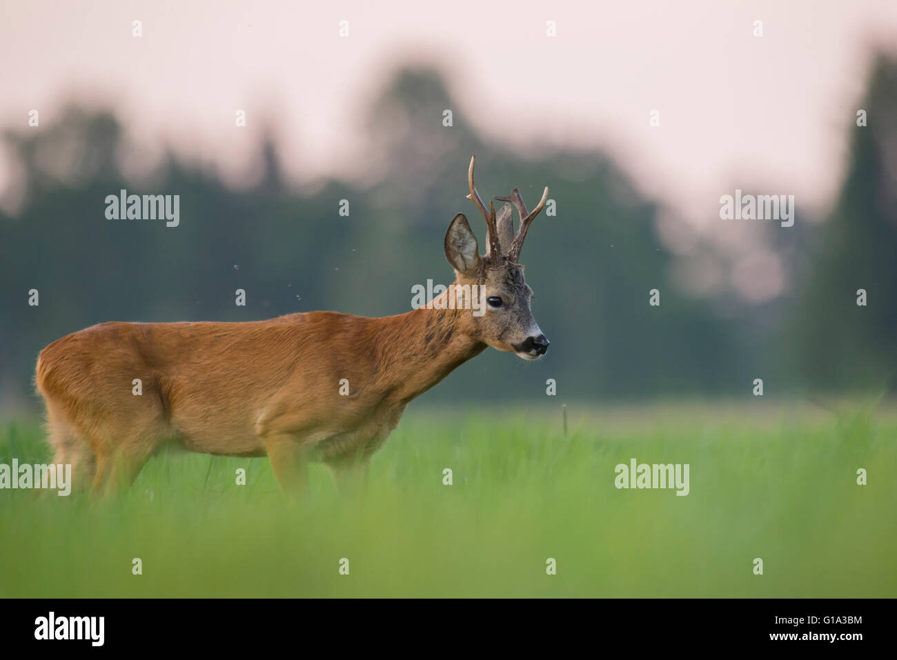Roe deer on the meadow - Stock Image