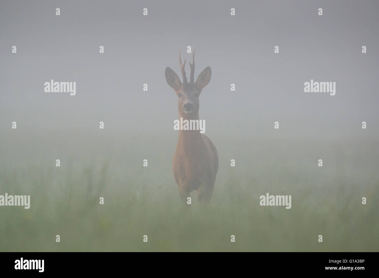 Roebuck in the mist - Stock Image