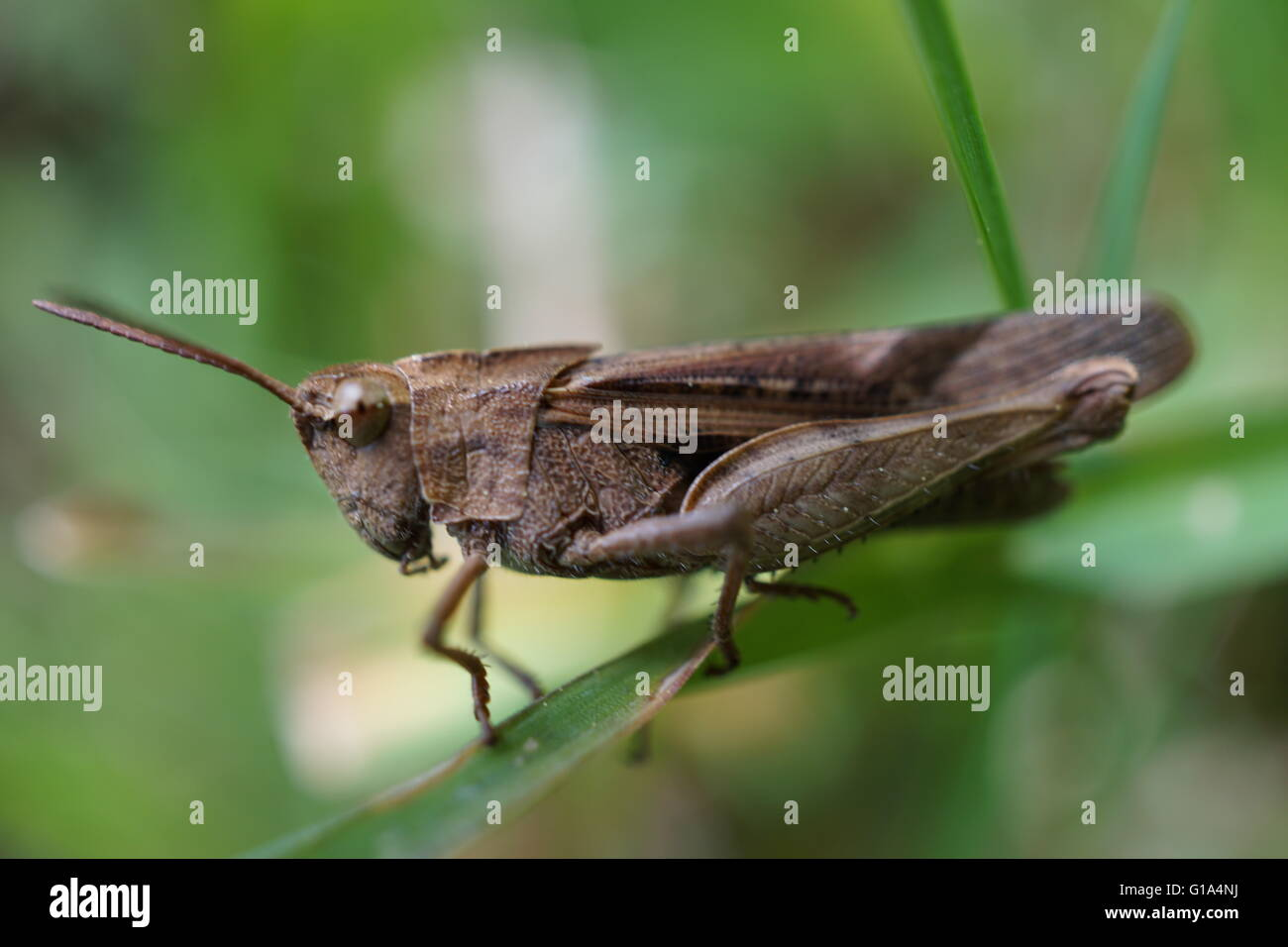 Macro shot of a grasshopper on a blade of grass. - Stock Image