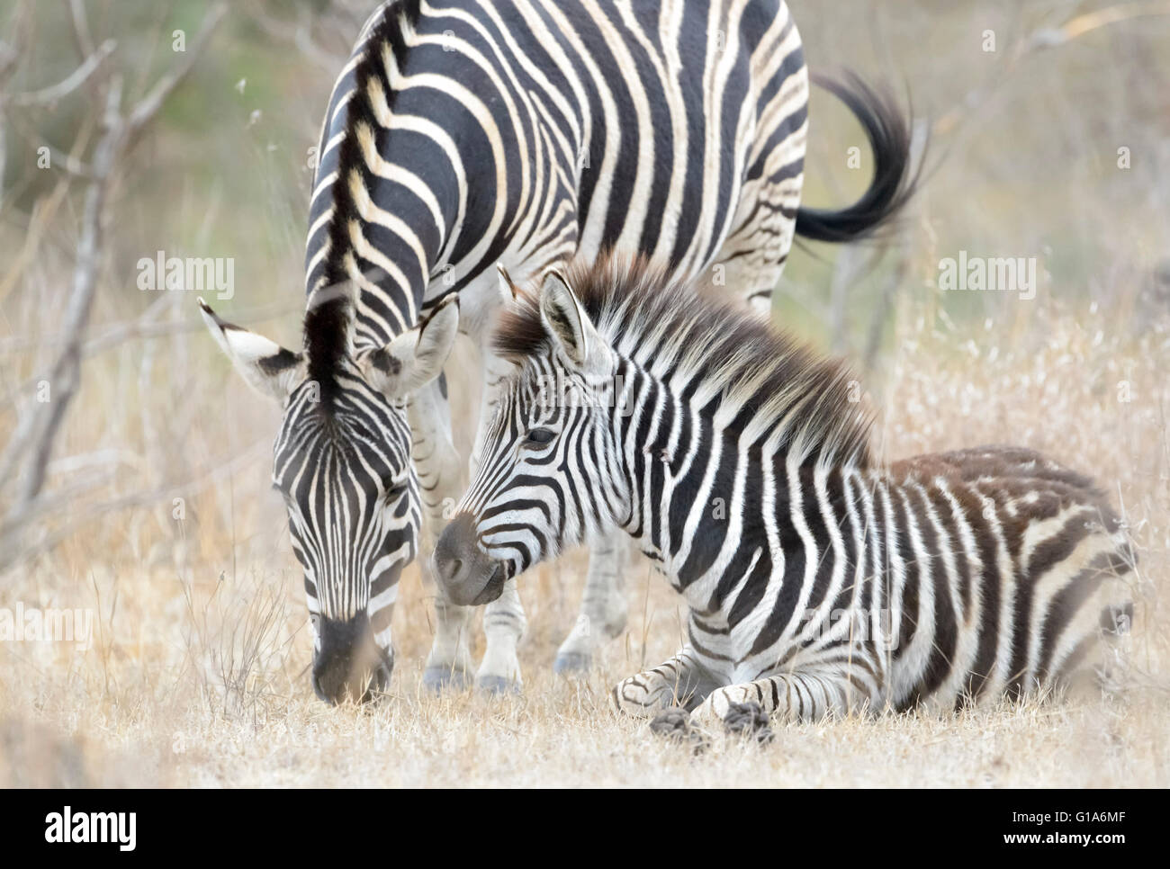 Plains zebra (Equus quagga) juvenile lying down with mother, Kruger National Park, South Africa - Stock Image
