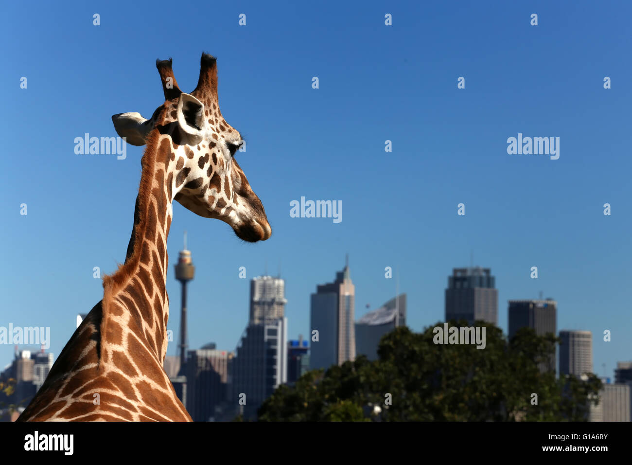 Giraffe looks across Sydney Harbour towards the city - Stock Image