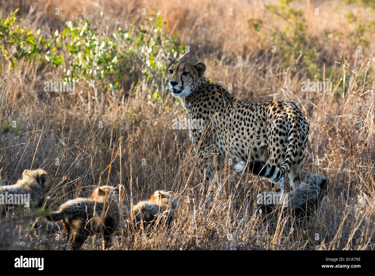 Mother Cheetah With Cubs Hiding In The Long Grass Kwazulu