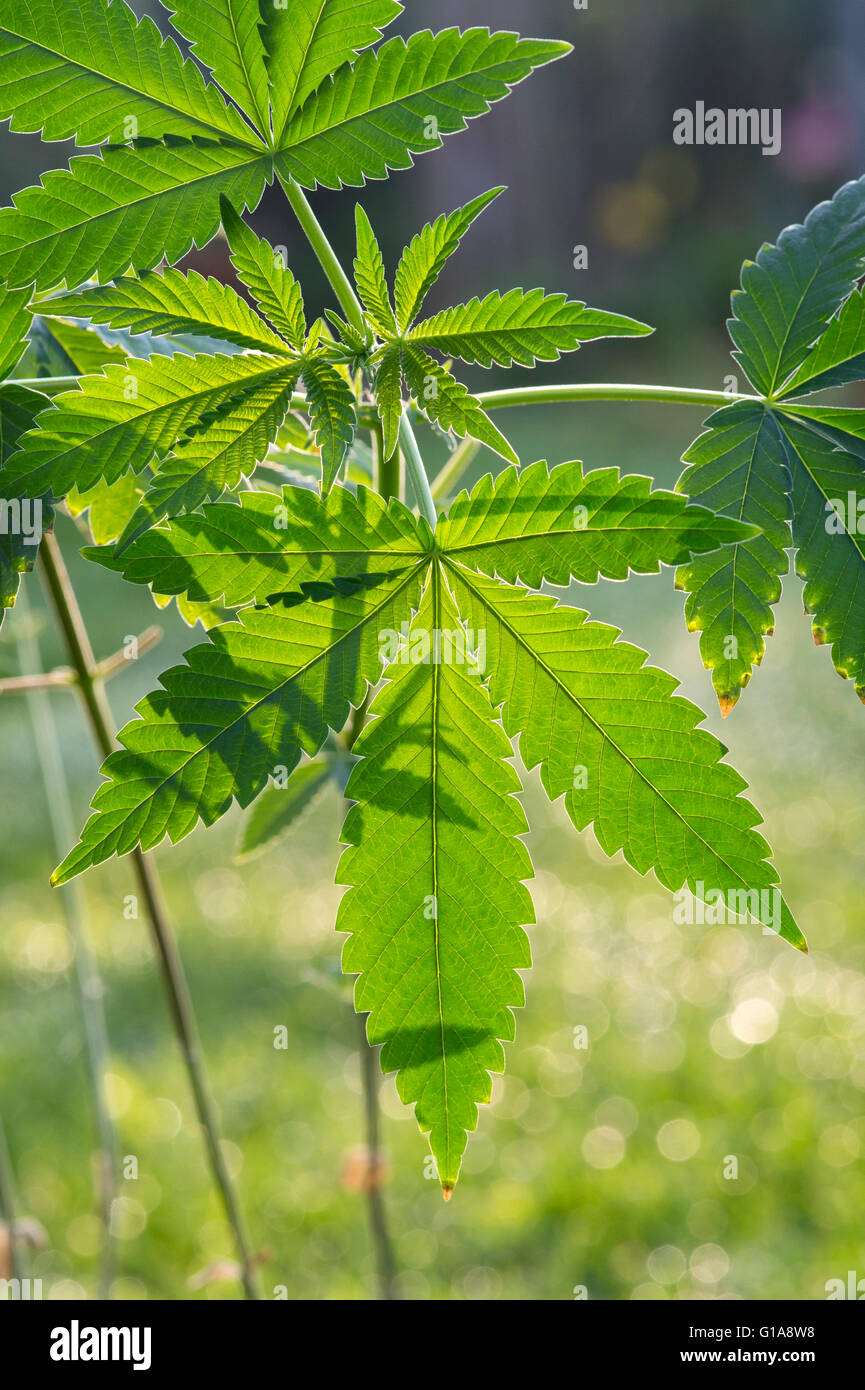 Cannabis sativa plant in sunlight - Stock Image