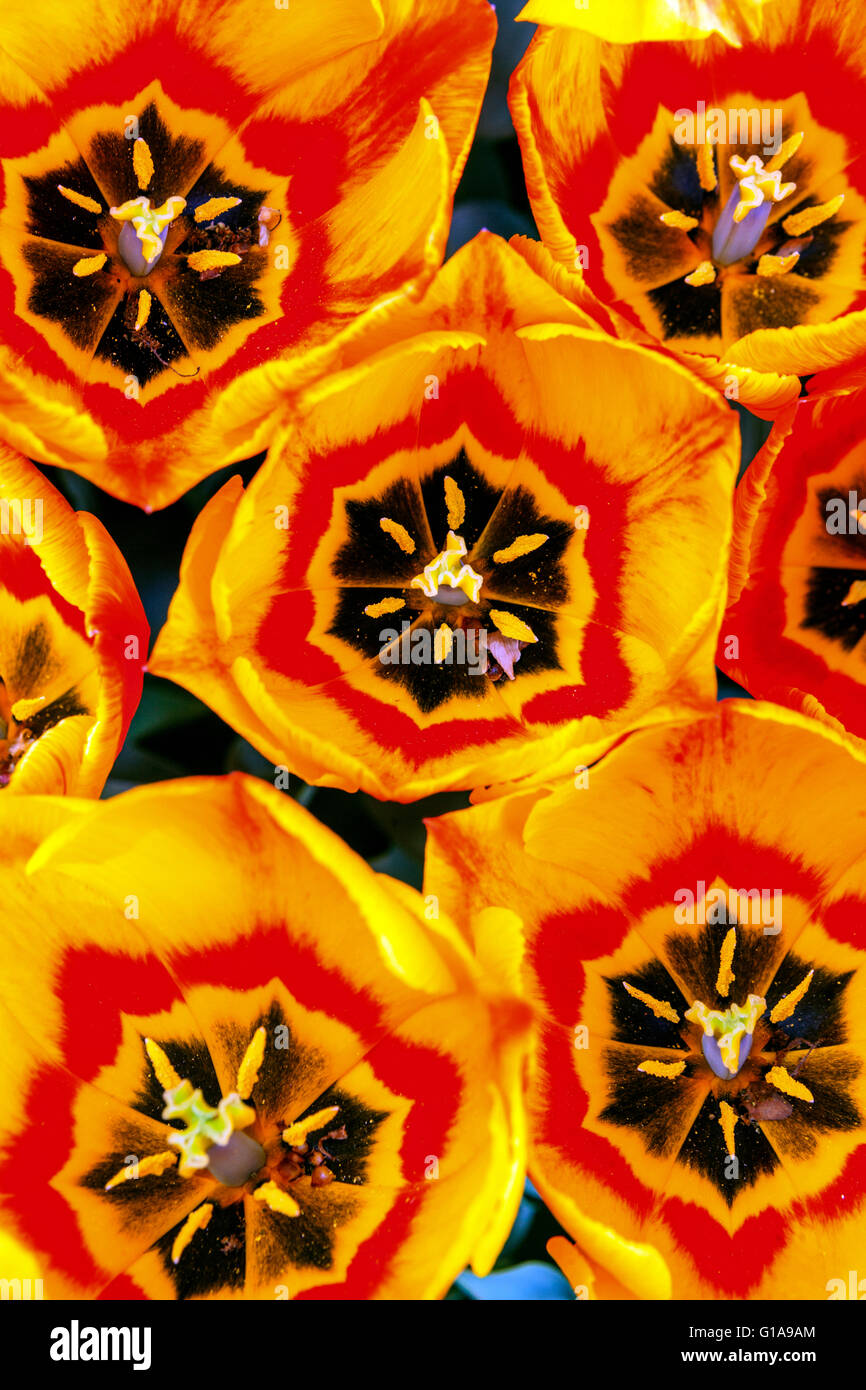 Flowering Tulips garden, Tulipa ' Flair ', patern, Open tulips - Stock Image