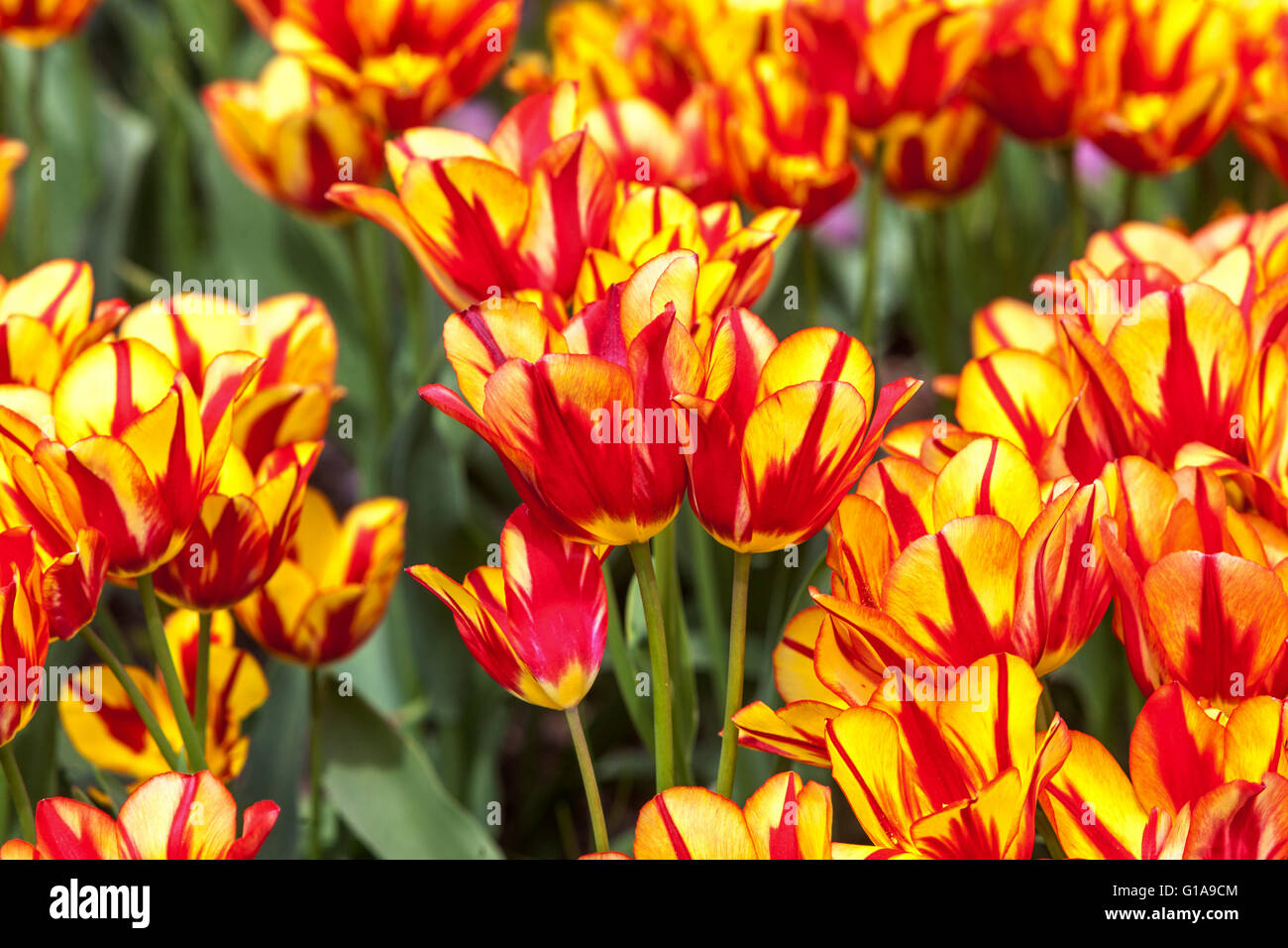 Flowering Tulips garden, Tulipa 'Color Spectacle' - Stock Image