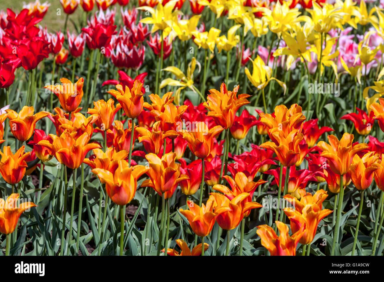 Flowering Tulips garden, Tulipa, - Stock Image