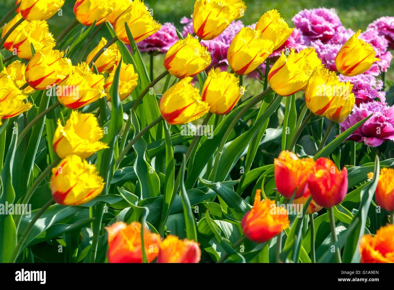 Flowering Tulips garden, Tulipa - Stock Image