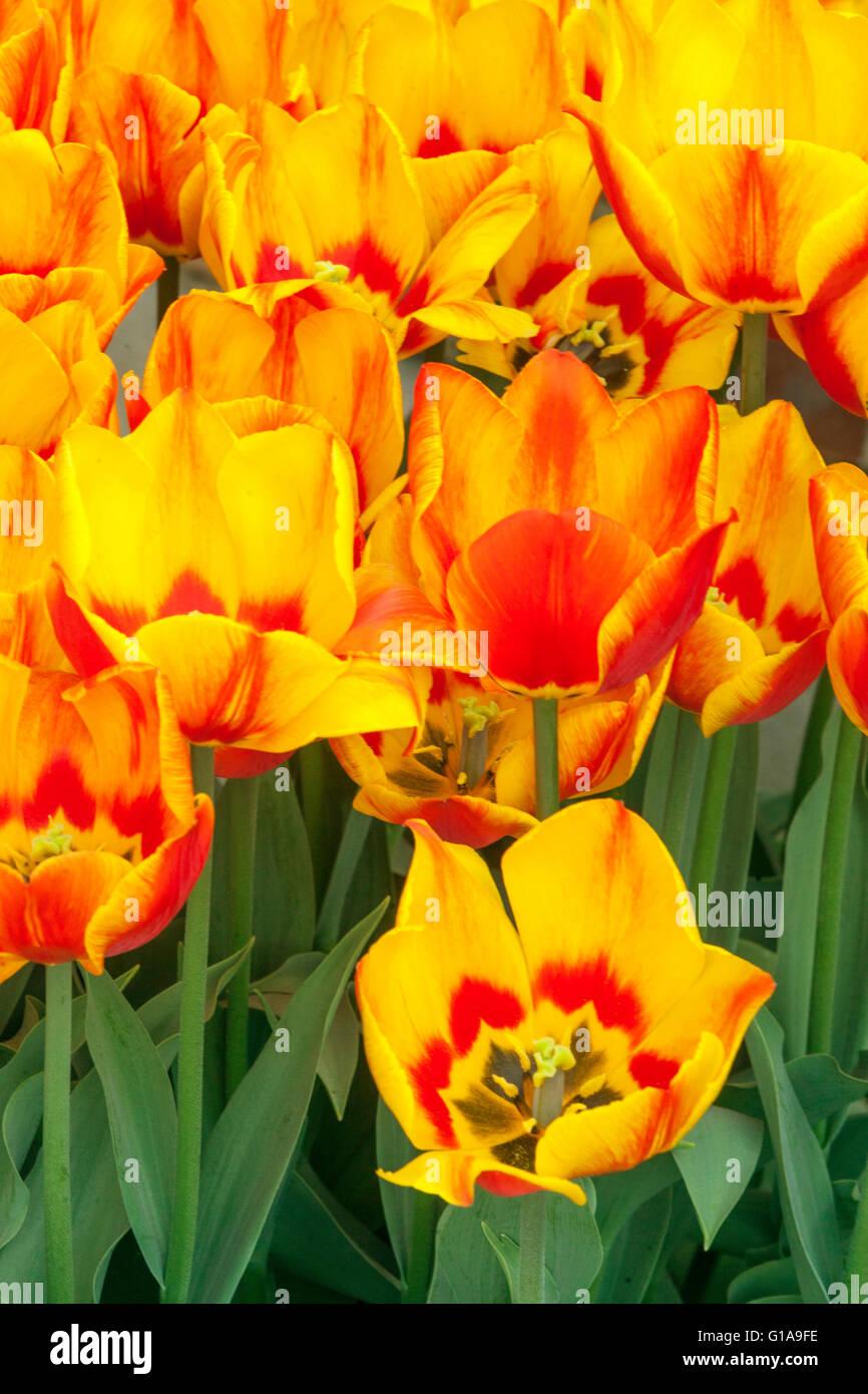 Flowering Tulips garden, Tulipa 'Flair' - Stock Image