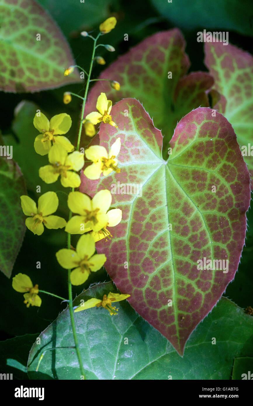 Barrenwort Epimedium x perralchicum, flowering, yellow Barrenwort Stock Photo