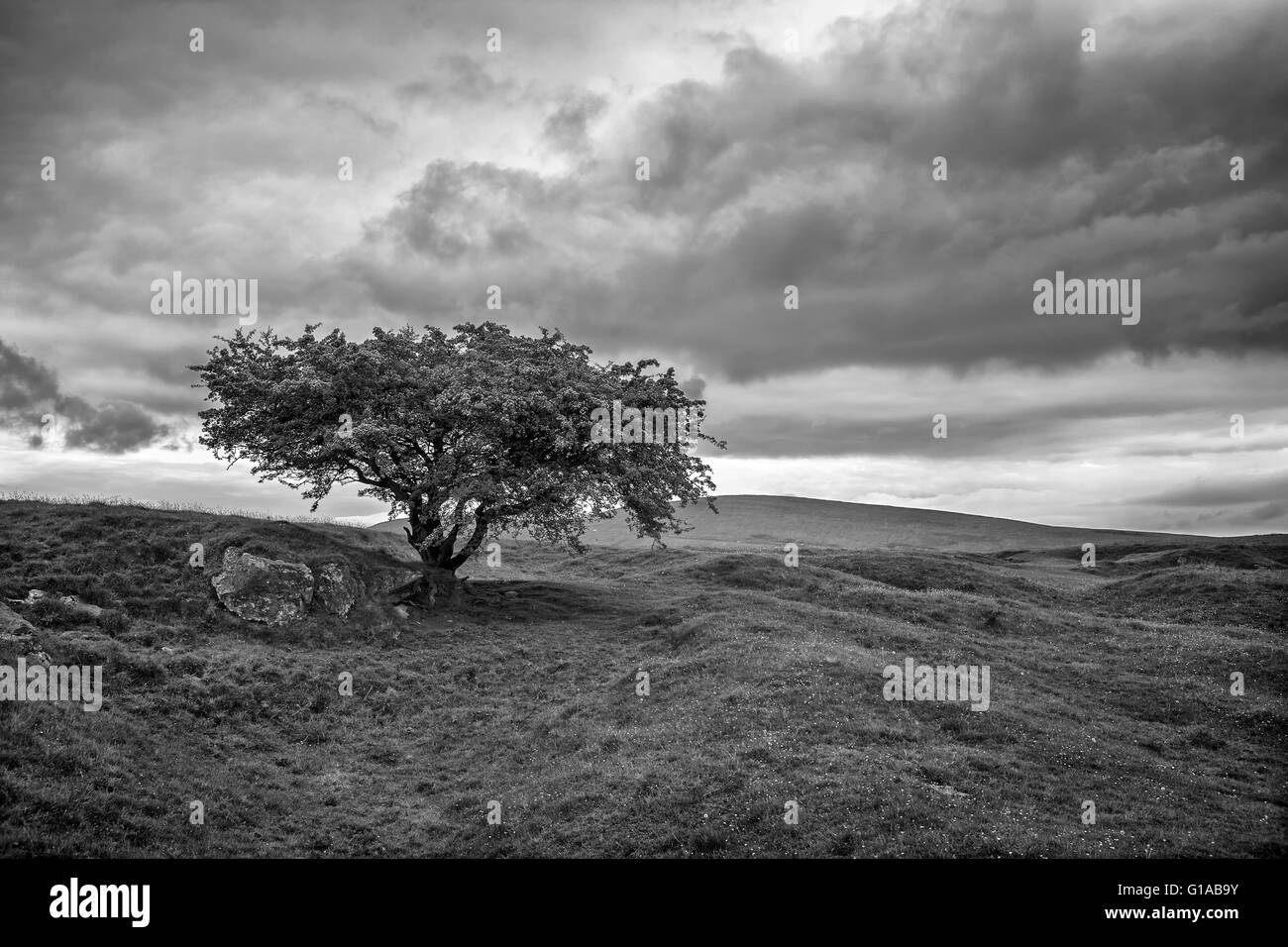 Lone tree in stormy weather on Grin Low, above Buxton, Derbyshire, England - Stock Image
