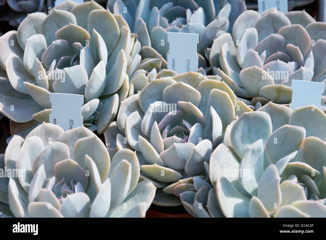 Echeveria, succulent plants with tag in a nursery - Stock Image