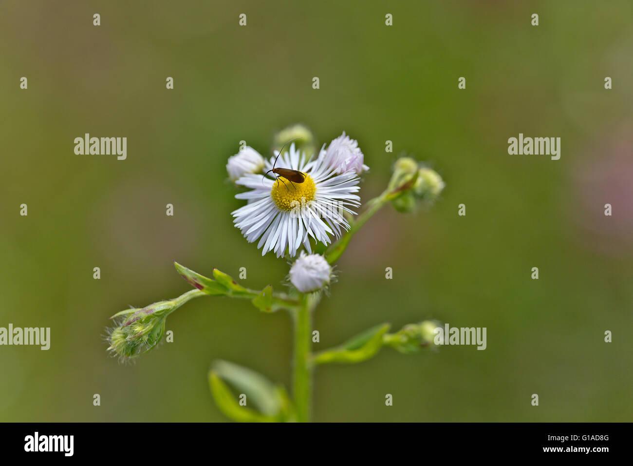 Gelandet auf einer Blüte. Ein Insekt beim Naschen. - Stock Image