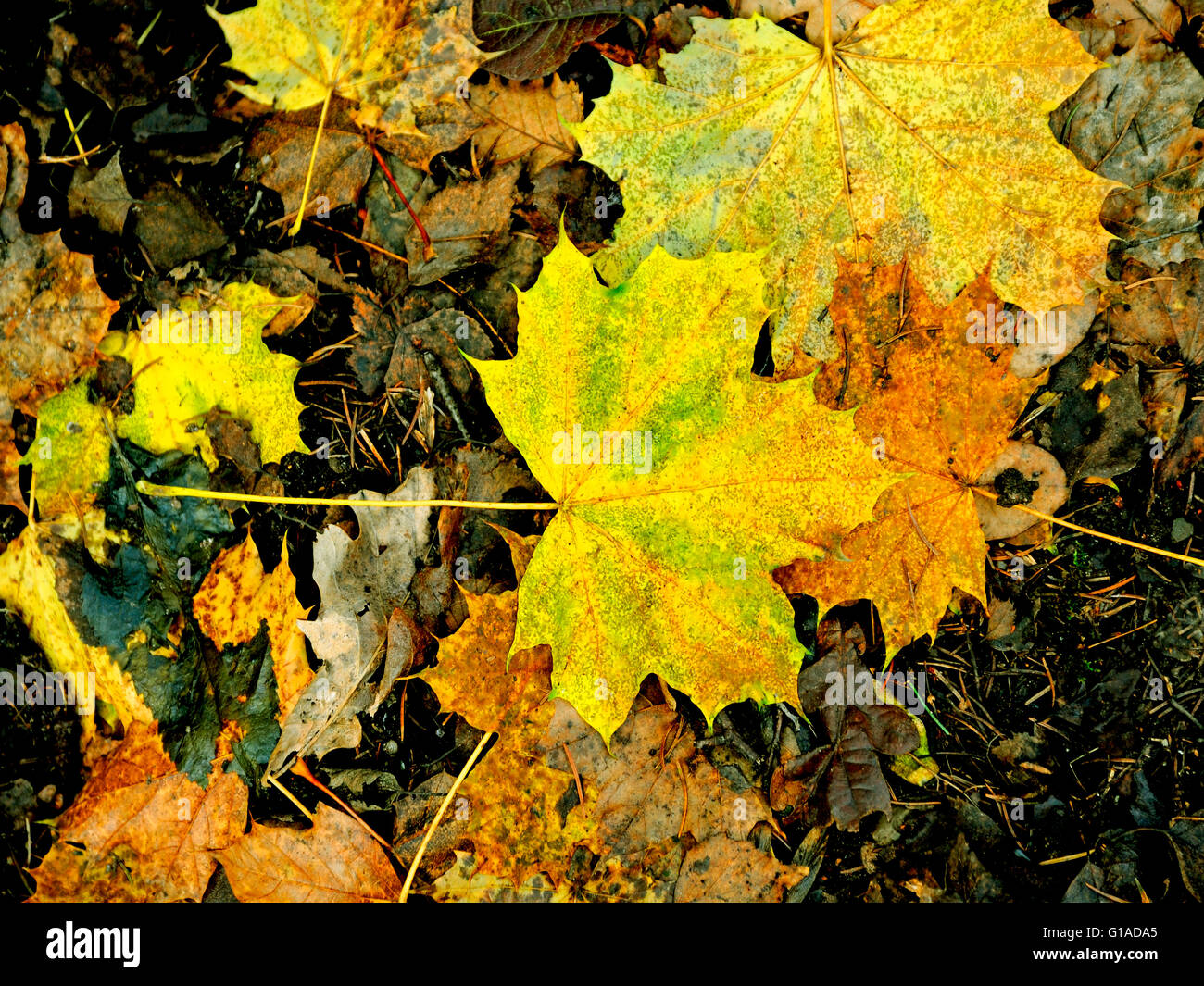AUTUMN LEAVES ON THE WOODLAND FLOOR - Stock Image