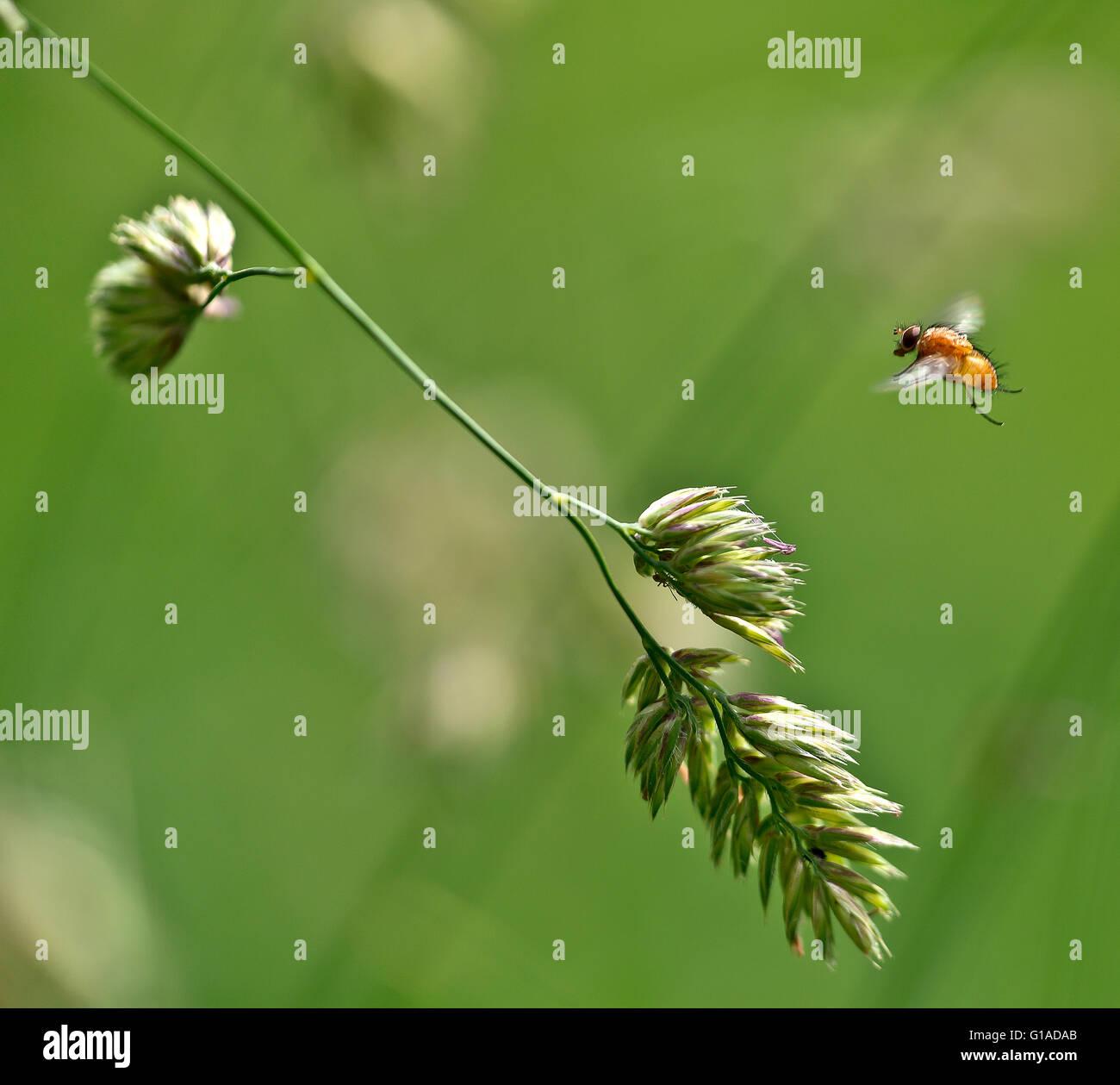 Eine Fliege im Anflug auf einen blühenden Grashalm. Stock Photo