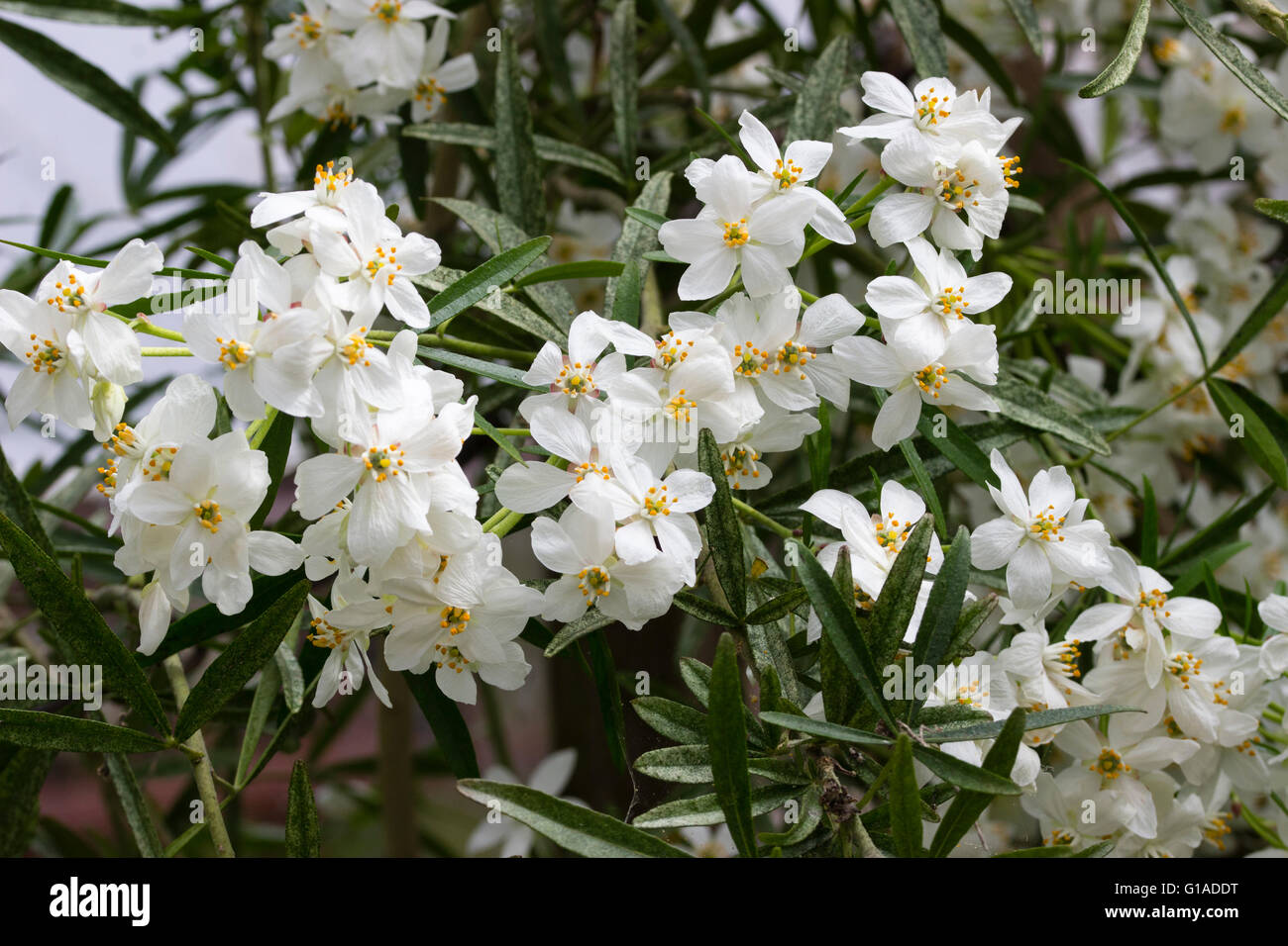 Scented White Flowers Of The Evergreen Hybrid Late Spring