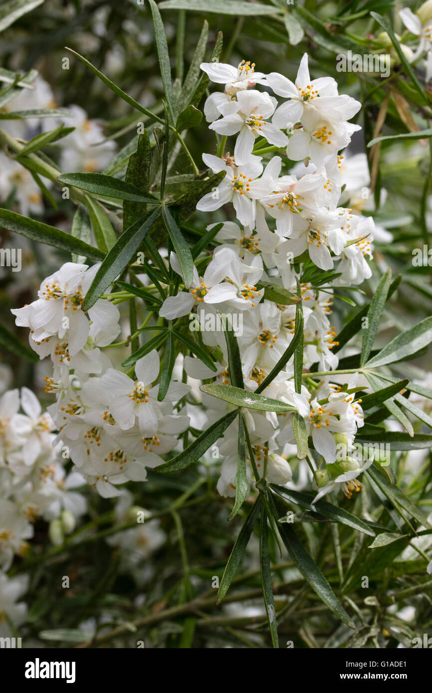 Scented white flowers of the evergreen hybrid late spring scented white flowers of the evergreen hybrid late spring flowering choisya aztec pearl mightylinksfo