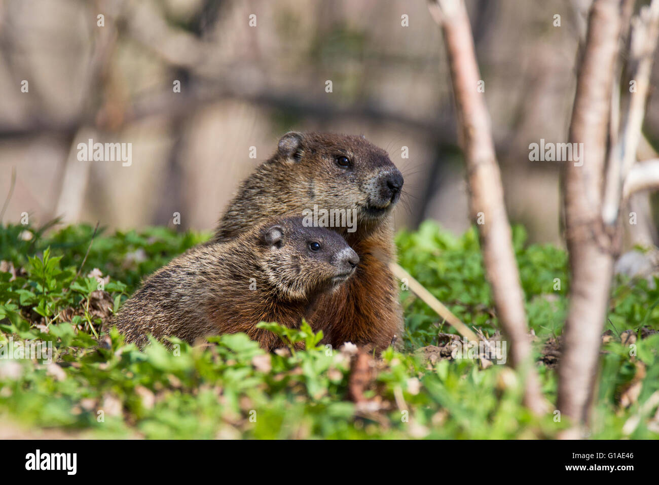 Cute Groundhog family (Marmota monax) also known as a woodchuck feeding with grass - Stock Image