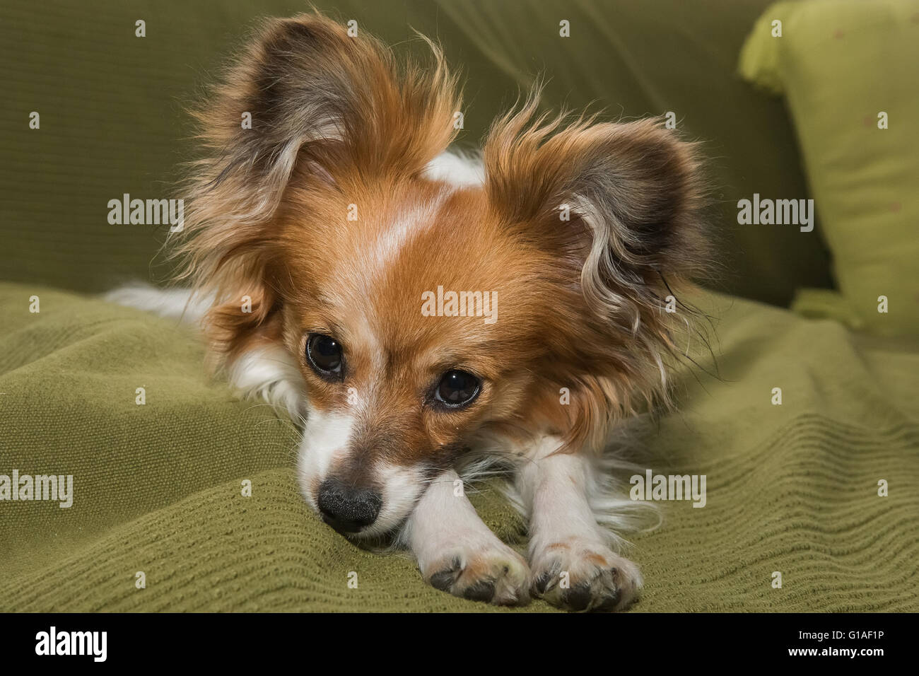 Papillon dog (Canis lupus familiaris) / Continental Toy Spaniel, Butterfly Dog - Stock Image