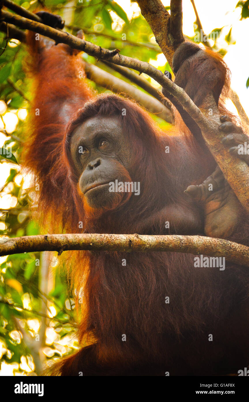 Orangutan at the Semmengoh Wildlife Sanctuary near Kuching in Borneo - Stock Image