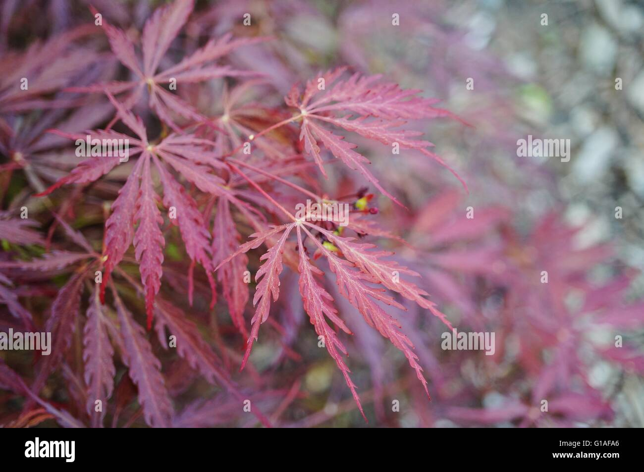 Red Foliage Of The Weeping Laceleaf Japanese Maple Tree Acer Stock