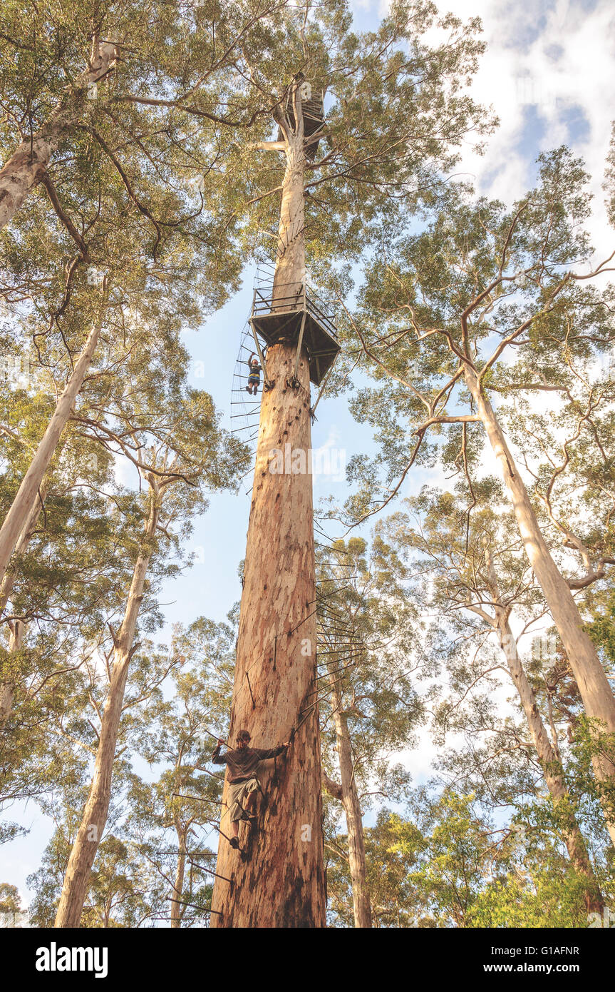 The Bicentennial tree near Pemberton in Western Australia - Stock Image