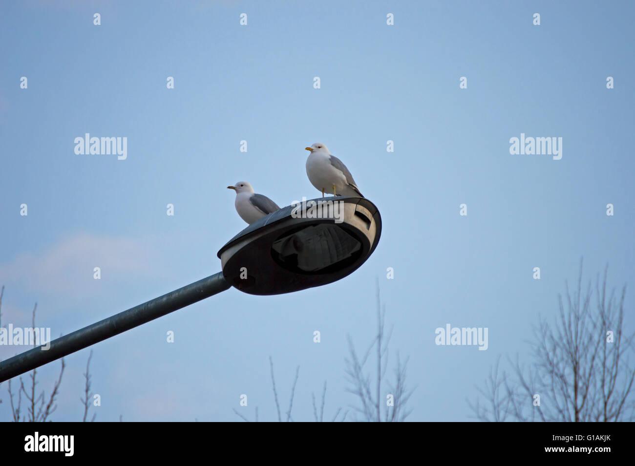 Seagull on streetlamp - Stock Image