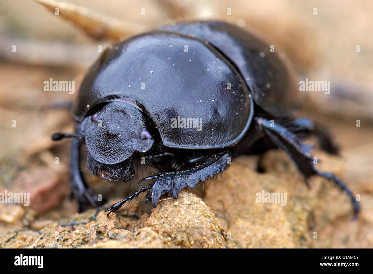 Dung beetle, Thorectes hispanus. - Stock Image