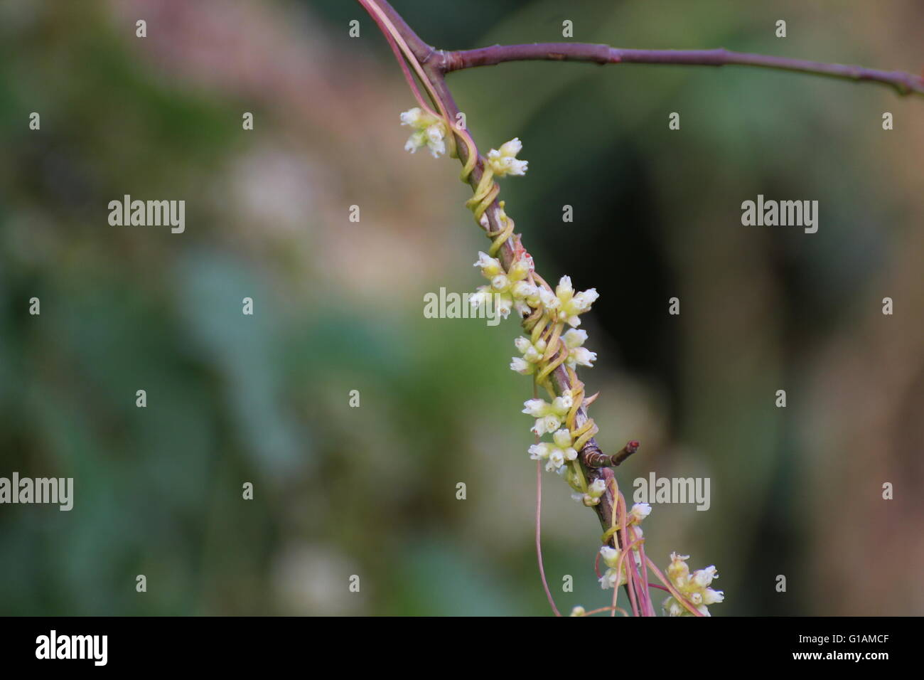Stems and blossoms of the clover dodder (Cuscuta epithymum) growing on rose. - Stock Image