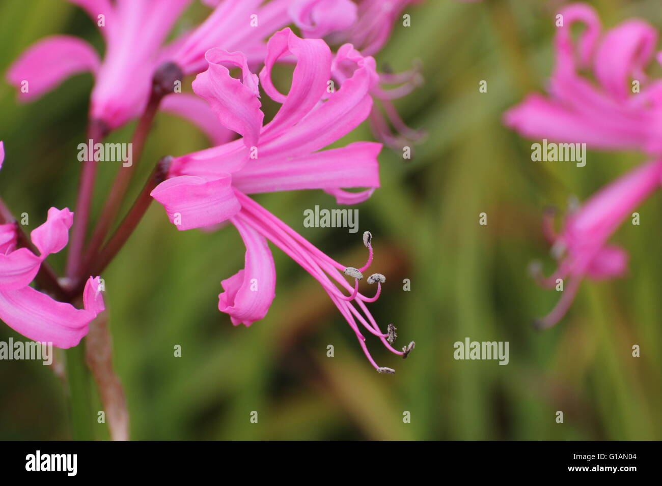 Pink blossoms of the Guernsey lily (Nerina bowdenii). - Stock Image