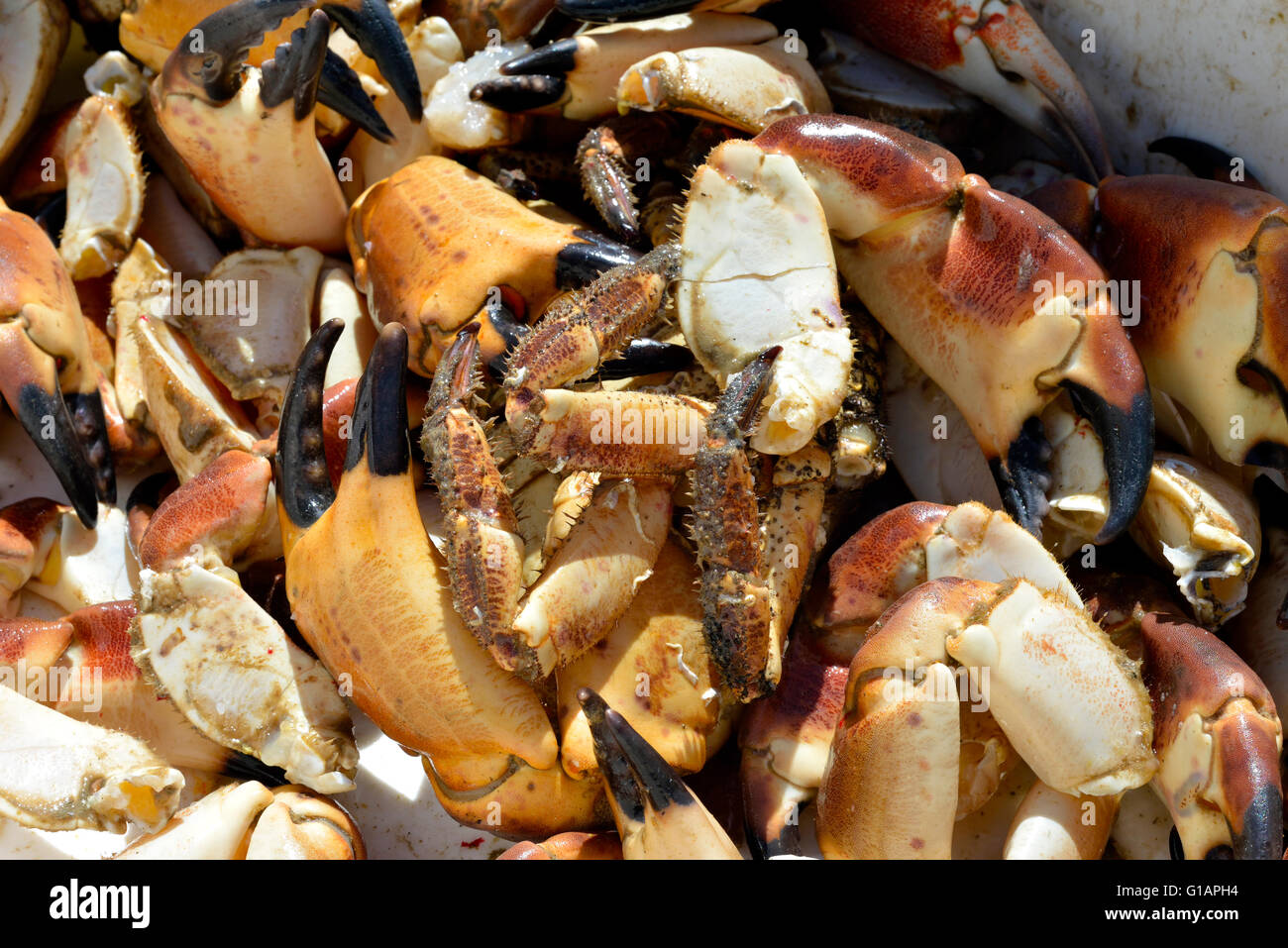 box full of lobster claws and one rogue live crab - Stock Image