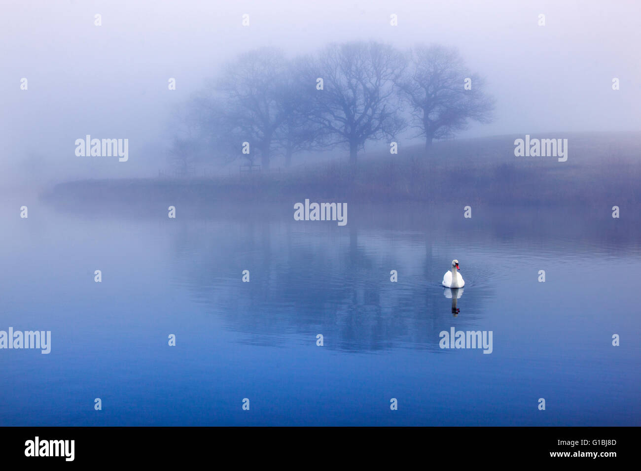 Mute swan in early morning mist and trees reflected in a lake - Stock Image