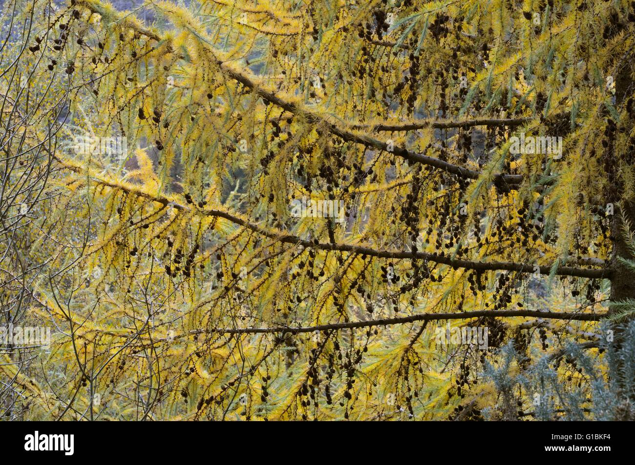 Cones  and Autumn foliage of Japanese Larch, Larix kaempferi Wales, UK - Stock Image