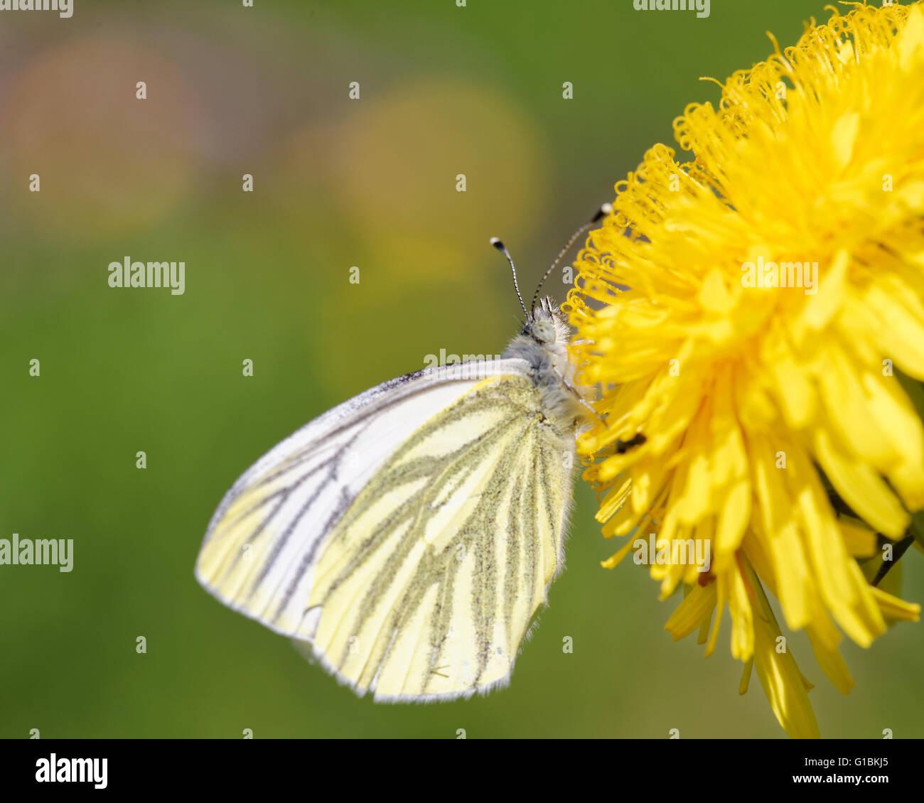 Green-veined white (Pieris napi) butterfly on dandelion flower. - Stock Image