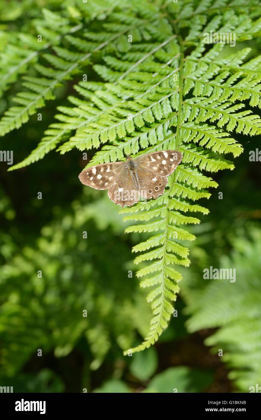 Speckled Wood butterfly, Pararge aegeria, basking in sunshine on a fern leaf, Wales, UK. - Stock Image