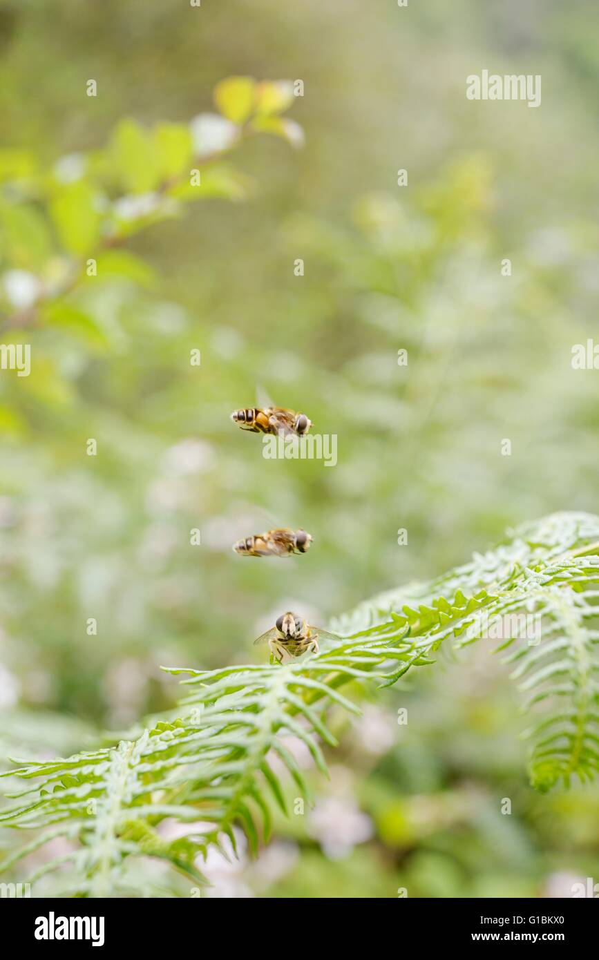 Two male Drone Flies, Eristalis tenax hover over a female in a 'hovering lek', Wales, UK - Stock Image