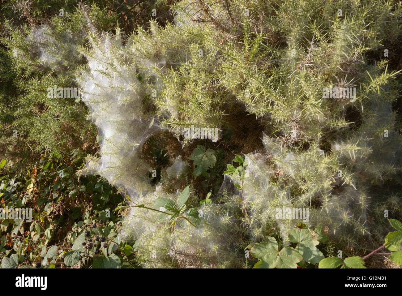 Spider's webs coating Gorse bushes in Autumn, Wales, UK - Stock Image