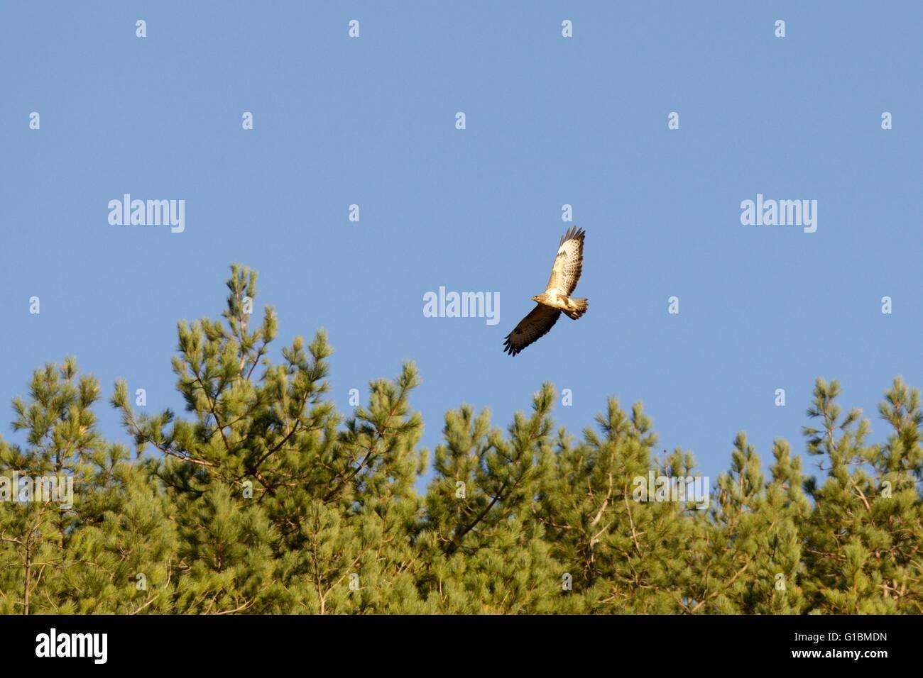 Common Buzzard, Buteo buteo, soaring over woodland, Wales, UK. - Stock Image