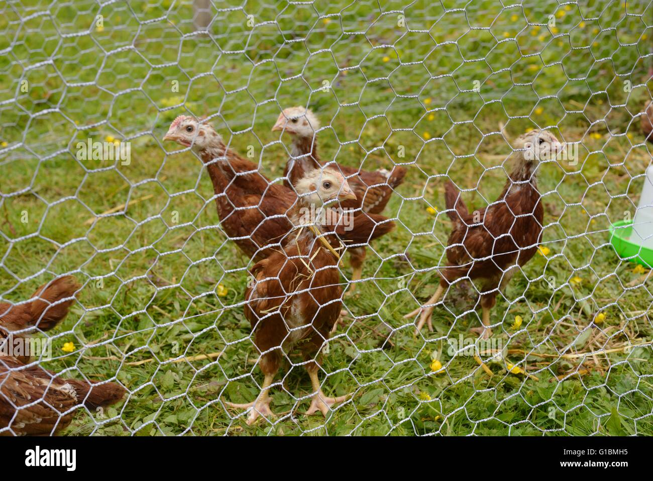 Young, pure breed Rhode Island Red chickens - Stock Image