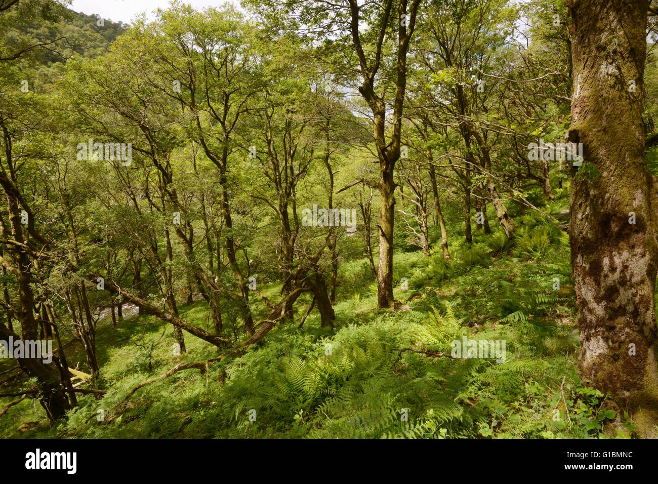 Mature Sessile Oak woodland at Dinas RSPB reserve Wales, UK - Stock Image