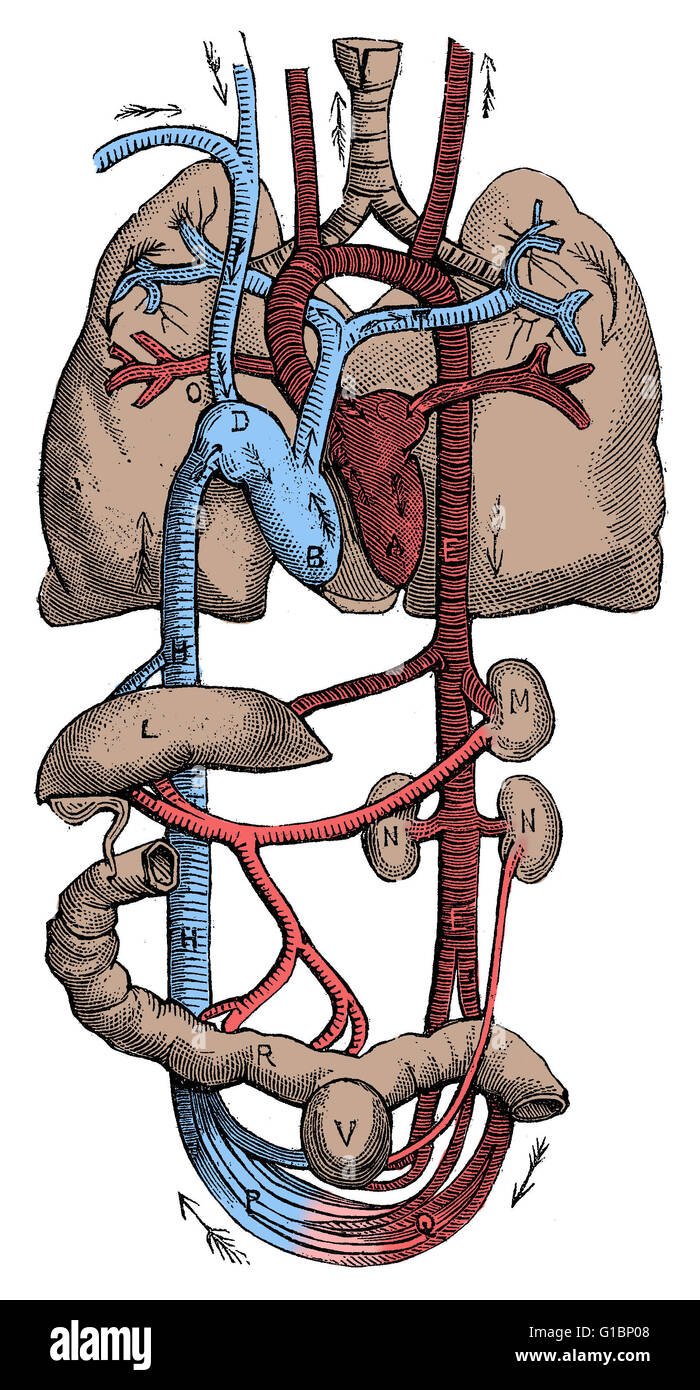A Humans Circulatory System With Arrows That Show The Direction Of