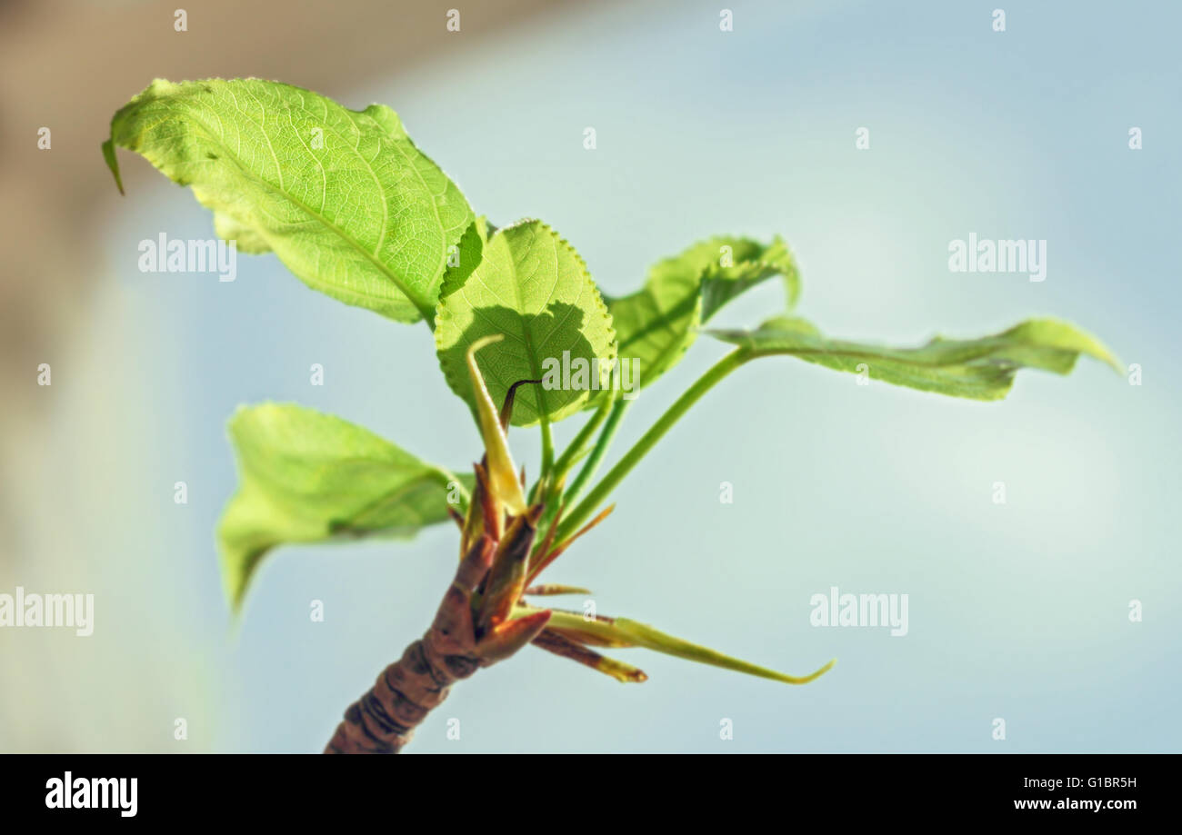 Nice fresh spring green young leaves at sunny morning - Stock Image