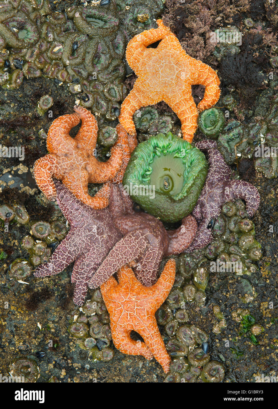 Ochre Sea Stars (Pisaster ochraceus) and anemones at low tide,  Shi Shi Beach, Olympic National Park, Washington - Stock Image