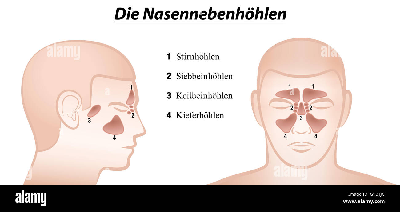 Paranasal sinuses - anterior and lateral view - GERMAN NAMES! - Stock Image