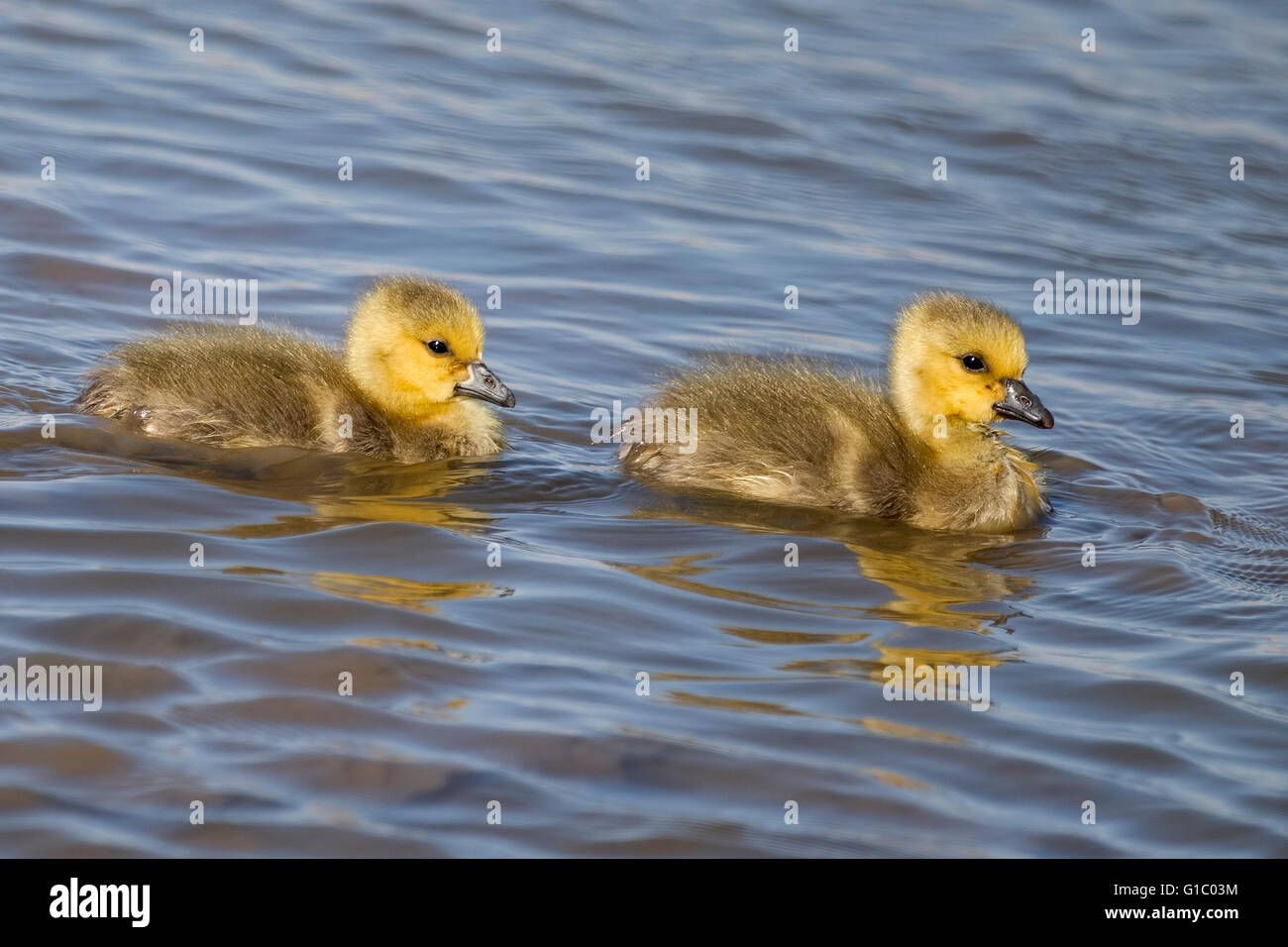 A pair of Canada Gosling's - Stock Image